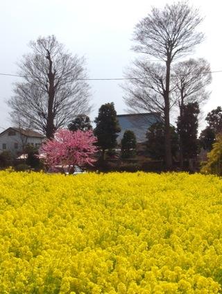 桃の花と菜の花.JPG